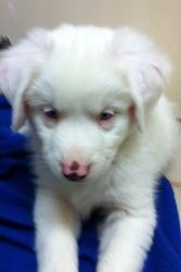 Trixie is an adoptable Australian Shepherd Dog in El Segundo, CA. Trixie is very sweet and special. She is deaf. And needs a ver loving and special home. She will be at Whole Foods El Segundo adoption...
