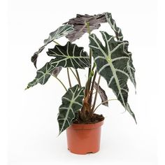 31 best Interior plants (A) images on Pinterest | Indoor plants ...