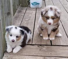 Things we love about the Work-Oriented Australian Shepherd Pups - Tiere - Animals Australian Shepherd Puppies, Aussie Puppies, Cute Dogs And Puppies, Doggies, Australian Shepherds, Miniture Australian Shepard, Miniature German Shepherd, Aussie Shepherd, Cutest Dogs