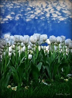 A field of white tulips - Istanbul, Turkey White Tulips, White Flowers, Spring Flowers, Beautiful World, Beautiful Gardens, Beautiful Sky, Flower Carpet, Beautiful Flowers, Beautiful Pictures