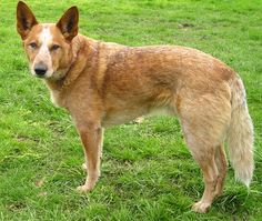 The red heelers (or Australian Cattle Dog that happens to be red) are cute, too. They look more like a dingo. I just put one down that was heeler X. He was 16 yo. I will miss him