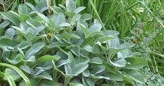 Der Halbstrauch mit den graugrünen, dekorativen Blättern ist mediterranen Ursprungs. Seine 30 bis 70 Zentimeter hohen Stiele sind im Juni und Juli dicht mit Blüten besetzt.