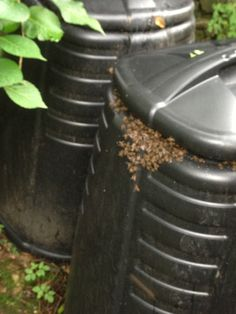 Honey bees in a compost bin