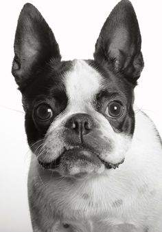 Awww .. reminds me of a Boston terrier I had ... Katie. I miss her.