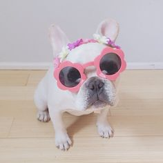 """I'm wearing them because Summer is coming, that's why!"", Fashionable French Bulldog"