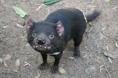 """Tasmanian Devils are ring ravaged a a rare form of transmissible cancer. They infect each other with the cancer when they """"share"""" food while fighting and biting each other. The entire species is on the brink of extinction. Very sad."""