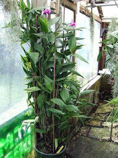 SOBRALIA MACRANTHA: Nome popular: orquídea-bambú/O gênero inclui cerca de 100 espécies endêmicas na América Central e do Sul, dos quais cerca de metade são colombiano/As plantas crescem em altura de 0.40 m até 2 m, formando hastes longas semelhantes a canas de bambu./É uma orquídea terrestre que ama temperaturas intermediárias e sombreamento bom e não apresenta dificuldades particulares de cultivo.