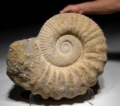 """Ptocheloniceras sp. 22,5""""×17,75""""×6"""". Crétacé d'Agadir au Maroc. AMX336.  LARGE DECORATOR FOSSILS WHITE AMMONITE FOSSIL FOR SALE"""