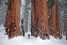 Giants of the Redwood forest