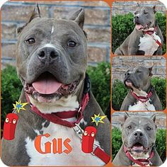 Pittsburgh, PA - Pit Bull Terrier Mix. Meet Gus, a dog for adoption. Gray/Blue/Silver/Salt & Pepper Age: Adult Size: Large 61-100 lbs (28-45 kg) Sex: Male . I'm about 4-5 yrs old (as of Aug 2014). I am a Pit mix I am a pretty good guy to hang out with that is great with other dogs. I have never been around cats so I can't tell you how I would do I am pretty sure I will do just fine as I am a pretty laid back guy…