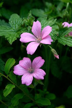 'Pink geraniums' by Bev Evans Exotic Flowers, Real Flowers, Amazing Flowers, Pretty Flowers, Pink Flowers, Cranesbill Geranium, Pink Geranium, Beautiful Flowers Wallpapers, Big Garden