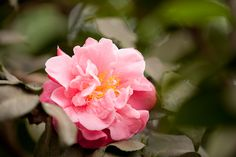 Camellia japonica 'Tiffany' in the Enid A. Haupt Conservatory – Photo by Ivo M. Vermeulen