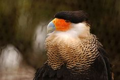 Caracara at the Wildlife Sanctuary due to his wing injuries making him unable to fly again. Captured at Flamingo Gardens in Davie, Florida