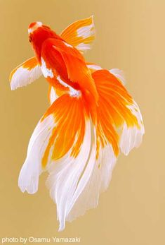 Ryukin. photo by Osamu Yamazaki. http://imagedive.co.jp                                                                                                                                                     Más