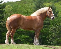 The Largest Living Horse In The World…    He's a Belgian draft horse named Zeus…standing at 21 Hands High…he weighs over 3,000 pounds…