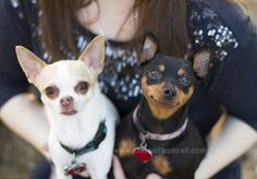 A chihuahua and a miniature pin dog look up at the camera from being in their owner's arms. Possibly the cuteset thing EVAR!
