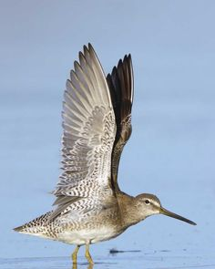 Long-billed Dowitcher  Limnodromus scolopaceus  Common migrant and winter resident