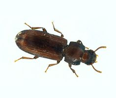 flat or rusty grain beetle stored product pests pinterest
