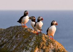 Puffin Colony at Lovund, Norway