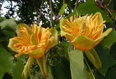 Liriodendron tulipifera, commonly known as Tulip Tree or sometimes as Yellow Poplar, is a tall and deciduous flowering tree from North America. Characterized by its height and beautiful flowers, Liriodendron tulipifera makes an excellent flowering tree for gardens and landscapes.