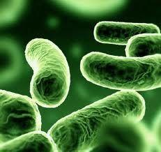 La flora batterica intestinale per essere davvero efficiente e proteggere l'organismo dall'aggressioni di pericolosi agenti patogeni ha bisogno di fibre, ecco la scoperta di un ricercatore italiano.