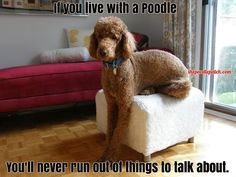 IF YOU LIVE WITH A POODLE YOULL NEVER RUN OUT OF THINGS TO TALK ABOUT