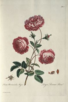 Larger provence rose by John Edwards, b. 1742 / A select collection of one hundred plates: consisting of the most beautiful, exotic and British flowers which blow in our English gardens. Antique botanical rose illustration.