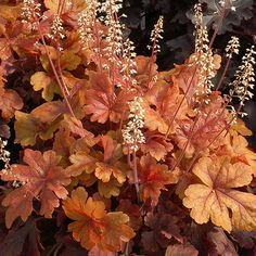 Buttered Rum' heucherella has caramel-color maplelike leaves that will stand out in your shade garden. Small white flowers appear in the spring, and in the fall the leaves turn a lovely shade of rose-red. 'Buttered Rum' looks great planted by itself or mi Shade Perennials, Flowers Perennials, Planting Flowers, Shade Flowers, Shade Plants, Shade Garden, Garden Plants, Coral Bells Heuchera, Small White Flowers