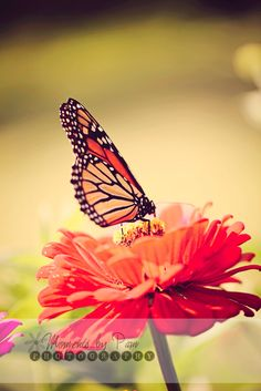 My Photography.  Butterfly prints.  Nature Photography.  Prints.  Monarch Butterfly.  Moments by Pam Photography.  Summer.  Indiana Photography.  Buy Prints.