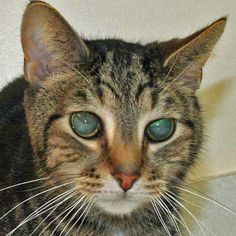 Best Pictures of Cats and More: Picture of Cat with Retinal Detachment