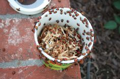 1,500 Ladybugs!  You can buy a container of 1,500 pre-fed ladybugs!  Perfect for Spring!!