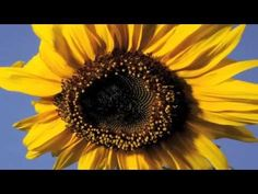 Sunflower time lapse - this one shows how the middle of the flower develops over the course of the summer, from florets to seeds. It lasts about a minute.