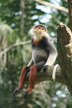 Douc Langur monkey - The douc langurs are amongst the most beautiful primates in the world. All 3 species are endemic to Indochina. The 3 species are the red-shanked douc langur (Pygathrix nemaeus), black-shanked douc langur (Pygathix nigripes) and gray-shanked douc langur (Pygathix cinereus). Status: Endangered to critically endangered.