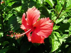 http://jungletropicale.com/2013/03/hibiscus-rosa-sinensis/