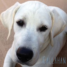 My 5 month old White Lab