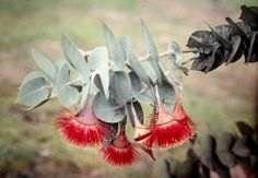 Rose Gum or Rose Mallee (Eucalyptus rhodantha) in cultivation in a private garden just north of the Stirling Range, Western Australia. Strange Flowers, Rare Flowers, Weird Plants, Rare Plants, Herb Garden, Home And Garden, Eucalyptus Oil, Oil Mix, Native Plants