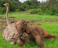 Orphaned elephants who are sad and alone are getting a lift from an ostrich who loves nothing more than some major cuddles.  One such baby elephant is Jotto, who was just a month old when he fell down a well and got separated from his herd.