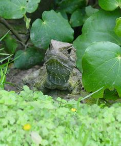 The native Tuatara lizard... Our oldest resident in New Zealand called Hone