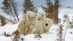 Mama polar bear and cubs in Manitoba's Wapusk National Park, Canada (© Matthias Breiter/plainpicture)