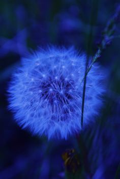 Royal Blue Dandelion on Black Background Im Blue, Deep Blue, Blue And White, Image Bleu, Fuerza Natural, Azul Real, Everything Is Blue, Montage Photo, Photoshop