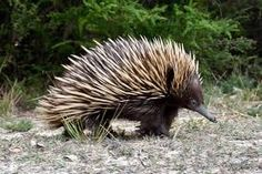 Echidna | Australian Animals | Distant Journeys | http://www.distantjourneys.co.uk/blog/meet-australias-famous-mammals/