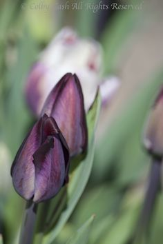 Queen of the Night & Rem's Favourite Tulips