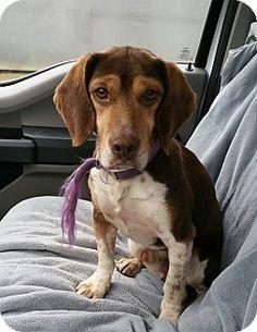 Lisbon, OH - Beagle Mix. Meet Briar, a dog for adoption. http://www.adoptapet.com/pet/17196906-lisbon-ohio-beagle-mix