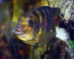 African Cichlid Big Aquarium, Aquarium Fish Tank, Fish Tanks, Fish Gif, Plecostomus, Cichlid Fish, Watercolor Fish, Cool Fish, African Cichlids
