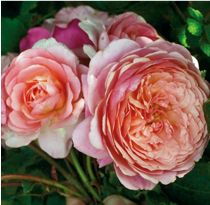 Rosier Générosa® Prix P. Enchanted Garden, Plantation, Pretty In Pink, Peonies, Nature, Painting, Beautiful, Collection, Gardens