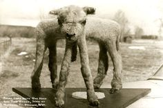 lamb chop special