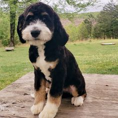 51 Best Bernedoodles Images Dogs Animals Teddy Bear