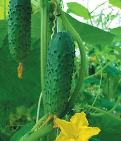 how to grow cucumbers | taste of home recipes