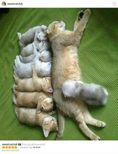 Photos Of Mama Cat And Her Kittens That Will Warm Even The Coldest, Deadest . - Morgan - - Photos Of Mama Cat And Her Kittens That Will Warm Even The Coldest, Deadest … Photos Of Mama Cat And Her Kittens That Will Warm Even The Coldest, Deadest Heart Cute Cats And Kittens, Cool Cats, Kittens Cutest, Kitty Cats, Baby Kitty, Ragdoll Kittens, Siamese Cats, Small Kittens, Cute Baby Animals