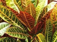 Croton, needs full sun Florida Lanai, Naples Florida, Landscaping Tips, Shrubs, Fountain, Plant Leaves, Palm, Tropical, Landscape